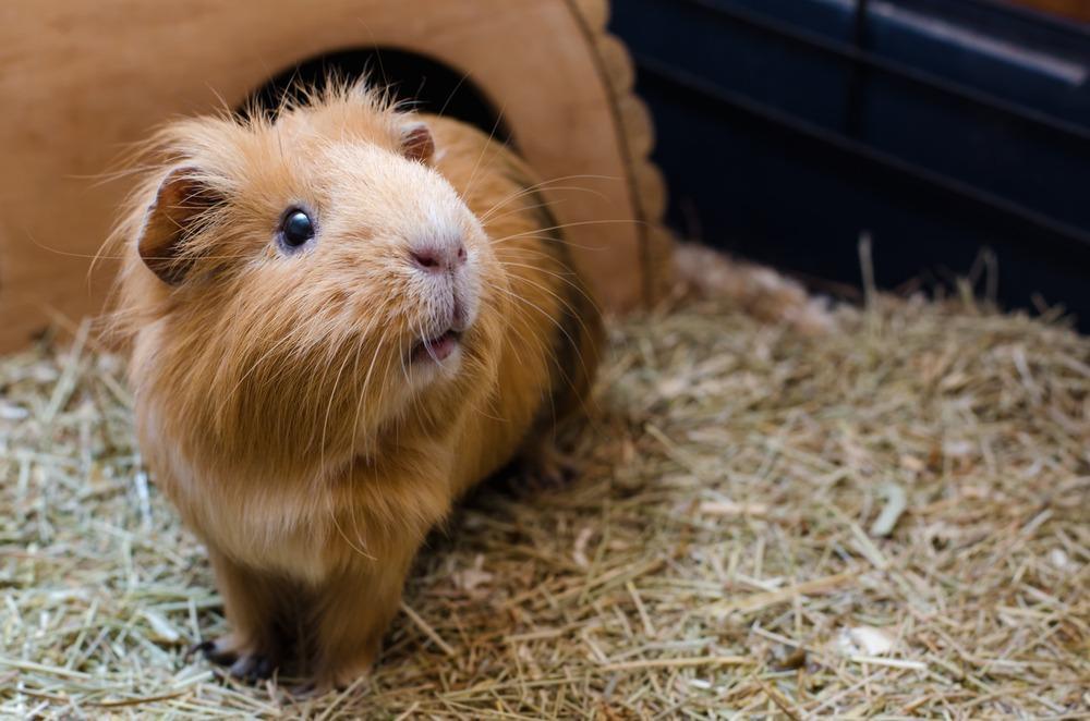 Portrait,Of,Cute,Red,Guinea,Pig.,Close,Up,Photo.