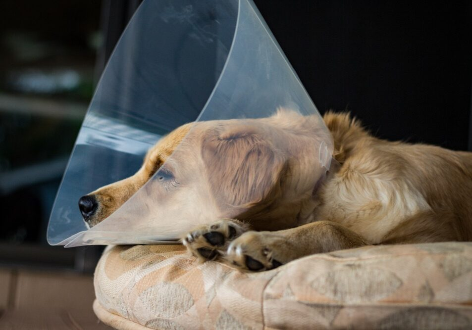 """Tired,Golden,Retriever,Puppy,Wearing,The,""""cone,Of,Shame"""",After"""